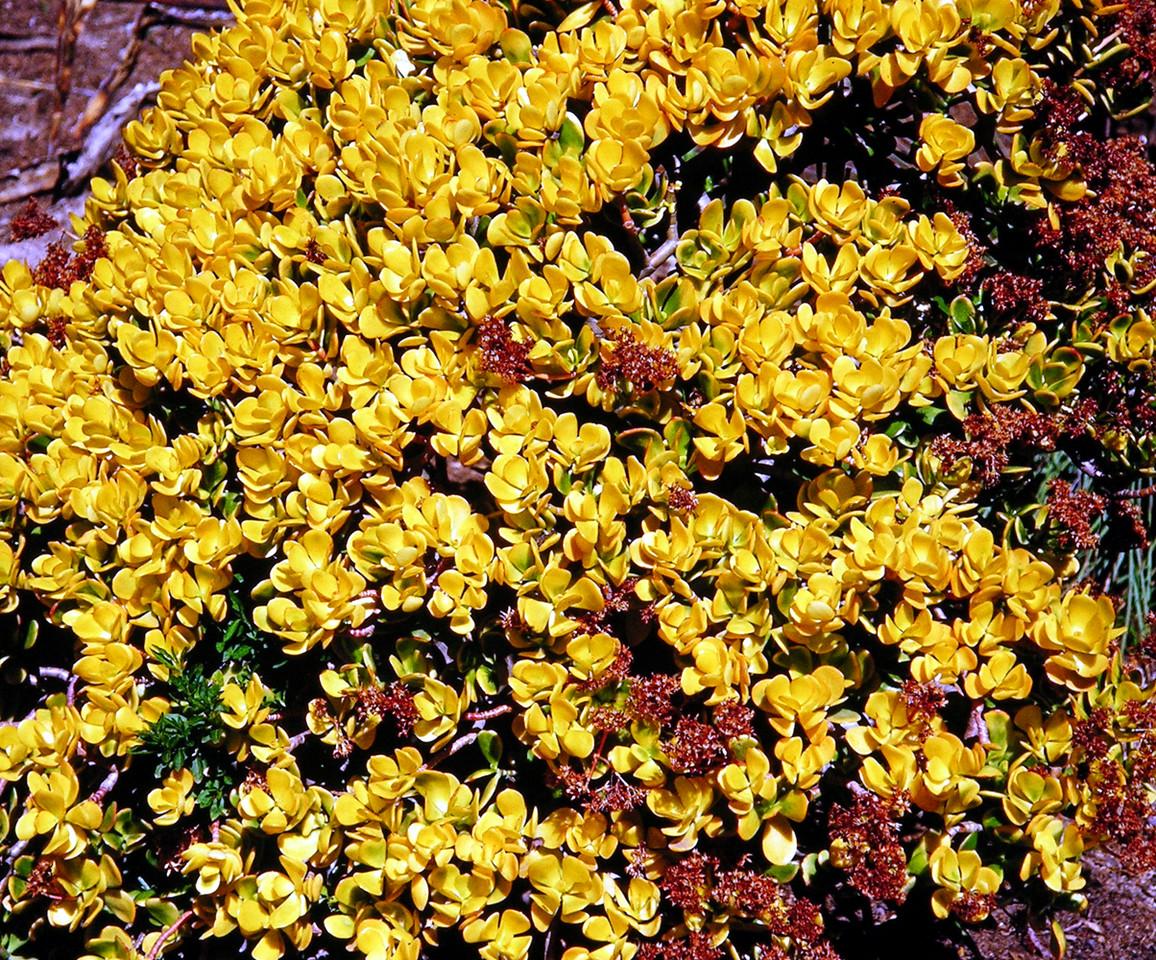 Crassula ovata 'Gold Form'