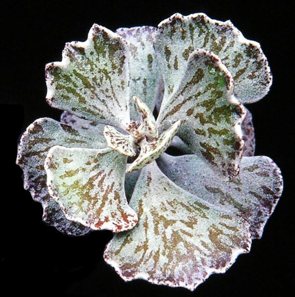 Kalanchoe rhombifolia