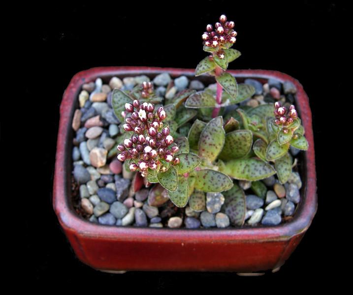 Crassula exilis subsp. sedifolia