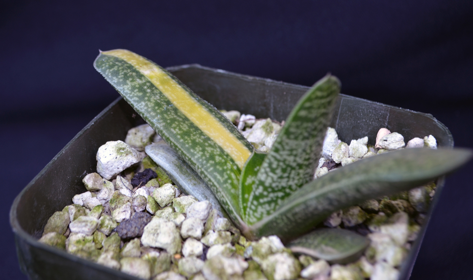 Gasteria variegated hybrid x Charles Wiley Open Pollinated
