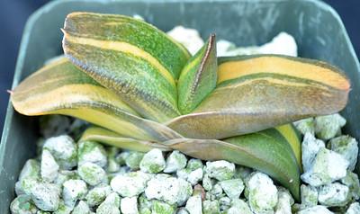 Gasteria BV x Kobayashi Wide Leaf