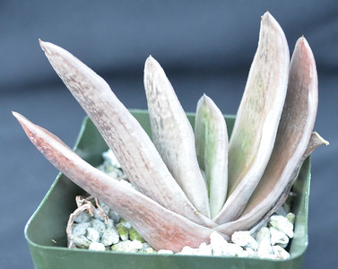Gasteria Gyuaden ex Nature's Curiosity Shop