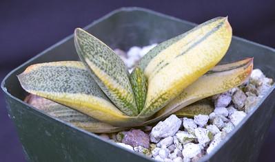 Gasteria variegated hybrid (BV x Kobayshi Wiede Leaf) Clone 1