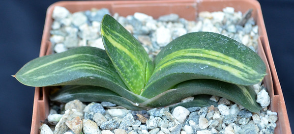 Gasteria x Texas Two-Step
