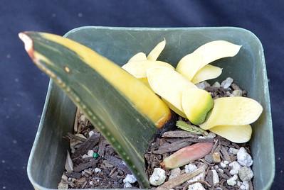 Gasteria Variegate Garden Hybrid ex JC