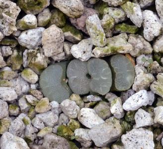Haworthia truncata dwarf form