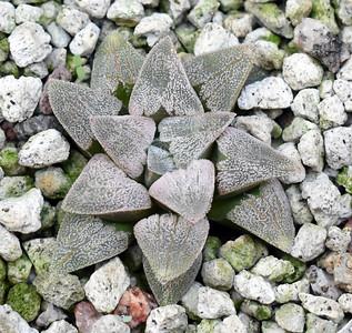 Haworthia Horikowa (pygmaea HPG-1 RW 2020-07-30