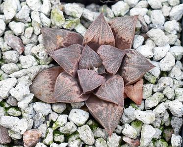 Haworthia Sahara RW XPX07 Rabit Series 2020-07-30