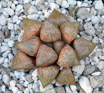 Haworthia emelyae var picta (Janvlokii) GM 267