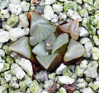 Haworthia mirabilis Morningstar Form 2020-07-29