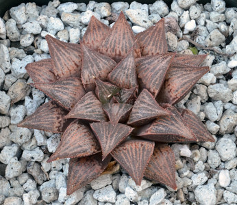 Haworthia Prickly Pete