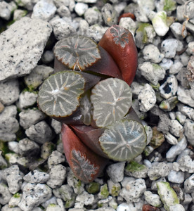 Haworthia tricolor