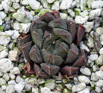 Haworthia maughanii x truncata x cooperi dielsiana 2020-07-30