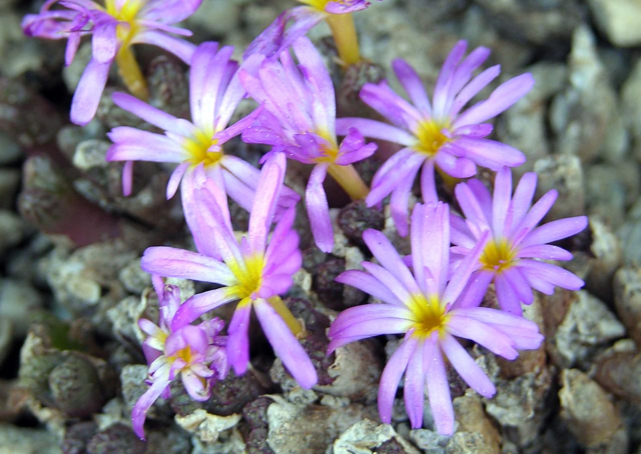 Conophytum luckhoffii