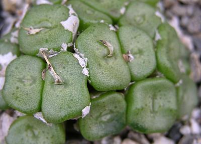 Conophytum concavum Riethuis
