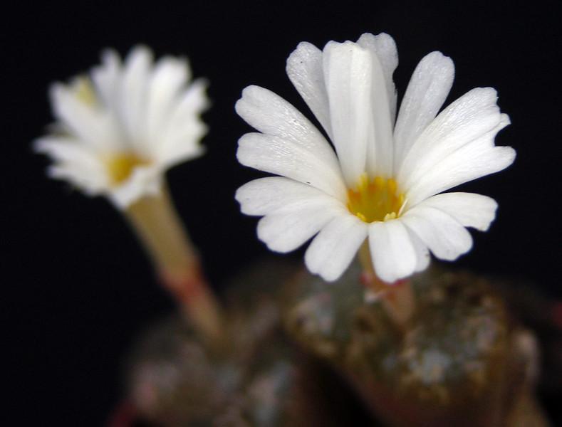Conophytum reconditum