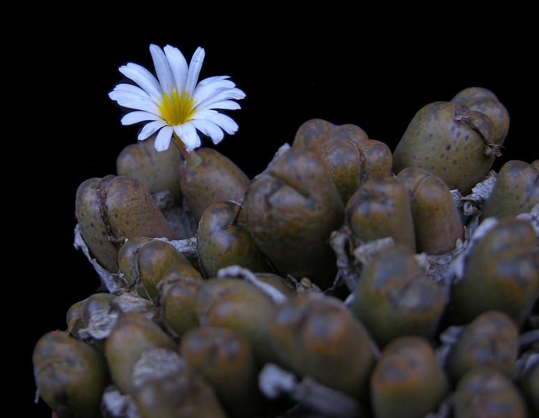 Conophytum pellucidum ssp cupreata v terrestrea