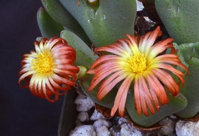 Conophytum frutescens