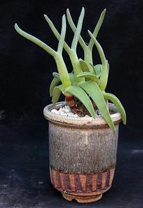 Mitrophyllum clivorum