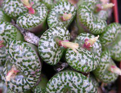 Conophytum obcordellum Ursprung