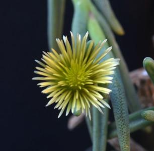 Phylobolus pracinus v viridiflorus
