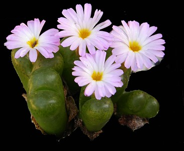 Conophytum lithopsoides
