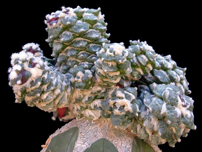Ariocarpus retusus monstrose graft