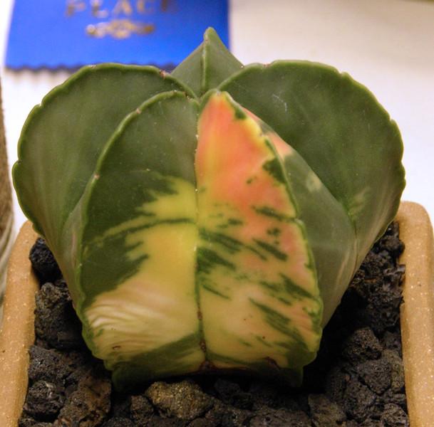 Astrophytum myriostigma variegate