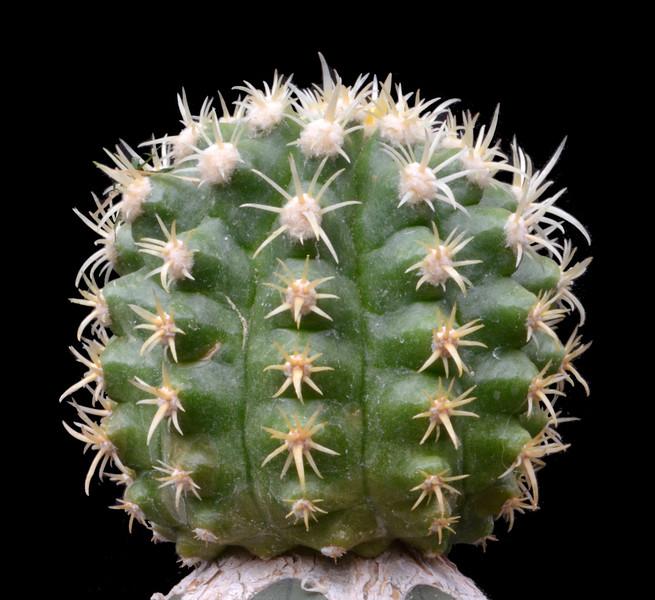 Echinocactus grusonii Plasticus
