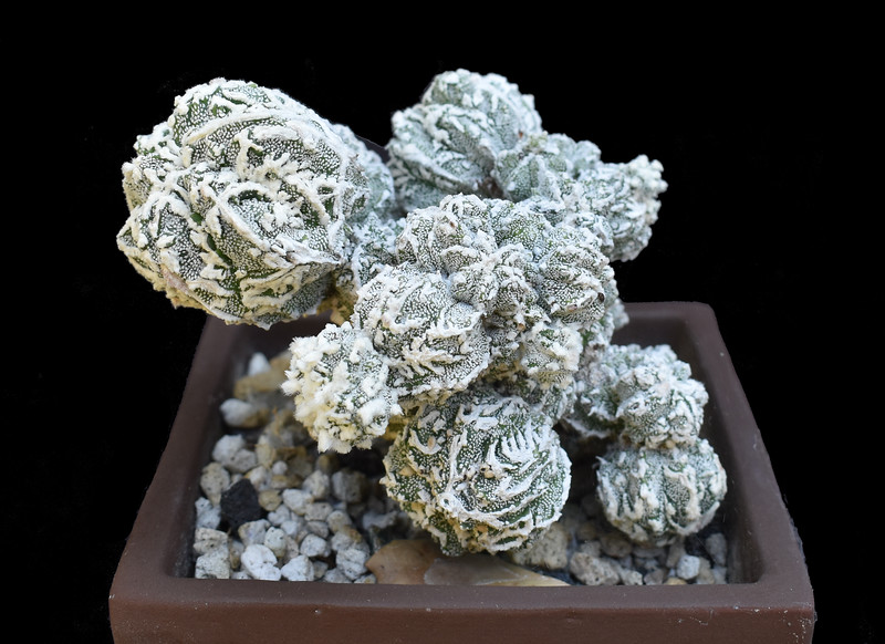 Astrophytum myriostigma Rampou