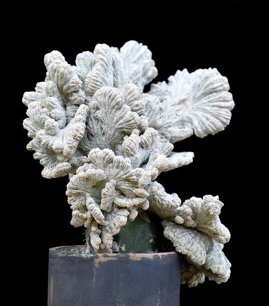 Astrophytum Onzuka Crest