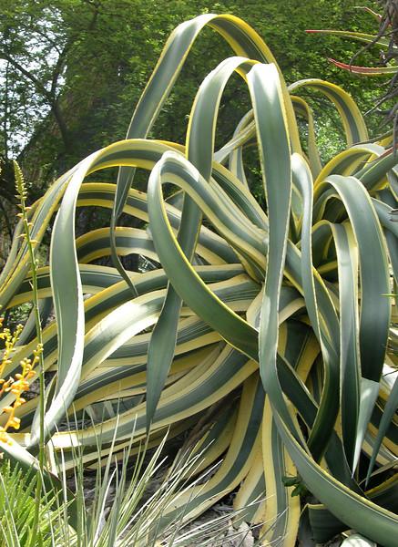 Agave americana variegate