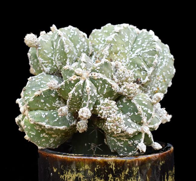 Astrophytum myriostigma Hakuun nudum