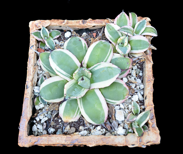 Agave cream spike with offsets