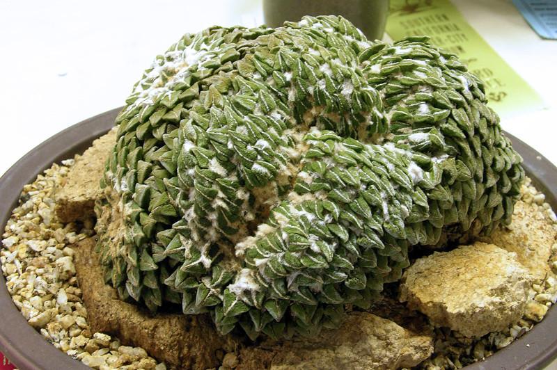 Ariocarpus kotschubeyanus v elephantipes crest