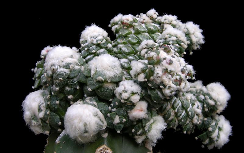Ariocarpus retusus monstrose