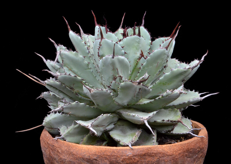 Agave Cubic