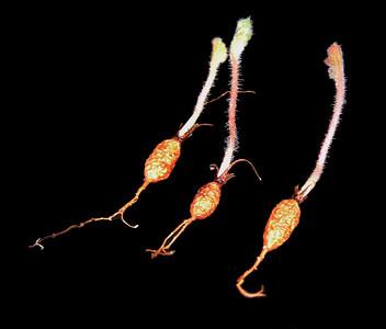 Pelargonium aciculatum tubers