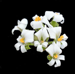 Pelargonium violiflorum 2021-04-15