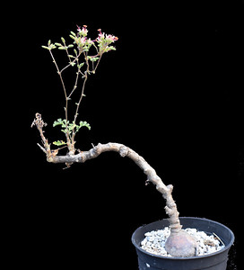 Pelargonium pachyphytum