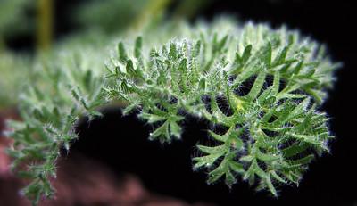 Pelargonium triste fine leafed form