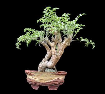 Pelargonium feralceum