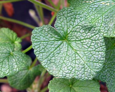 Pelargonium cotyledonis leaf
