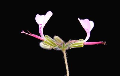 Pelargonium ternifolim flowers