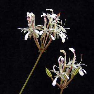 Pelargonium curviandrum flowers