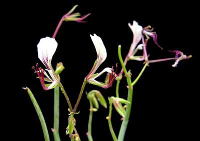 Pelargonium tetragonum flowers