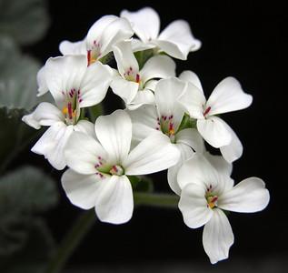 Pelargonium crassicaule flowers