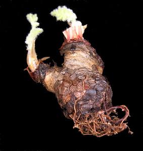 Pelargonium auritum tuber