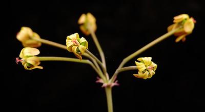 Pelargonium sp. MV 6821 flowers