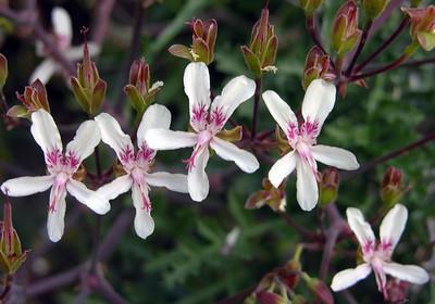 Pelargonium carnosum flowers